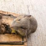 Sacramento Rat Control – Don't let this Problem Take you down