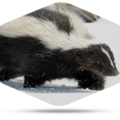 Read This Before Skunk removal in Reynoldsburg Is Needed
