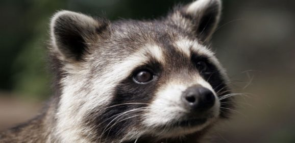 Wildlife Control in Reynoldsburg for Safely Removing Animals That Might Have Rabies