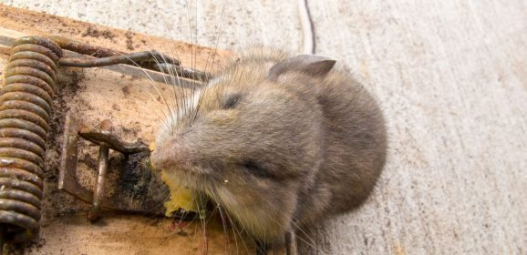 Key Reasons You Need Regular Rodent Control Service in Saugus, MA
